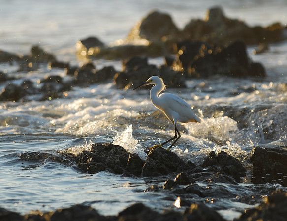 Egret at Dusk, Manzanillo Bay